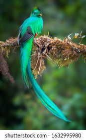 Resplendent Quetzal, Costa Rica with blurred green forest in background. Detail portrait of Resplendent Quetzal. Magnificent sacred bird.