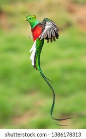 Resplendent Quetzal in Costa Rica Rainforest