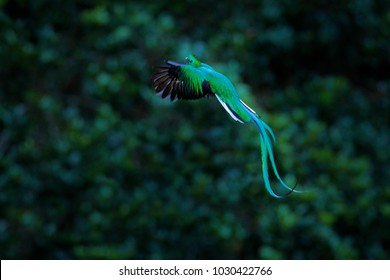 Resplendent Quetzal flying, Pharomachrus mocinno, Savegre in Costa Rica, with green forest background. Magnificent sacred green and red bird. Action fly moment from birdwatching.