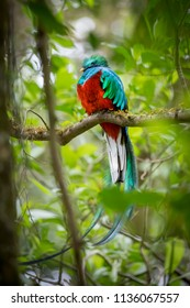 The Resplendent Quetzal, Male, Costa Rica