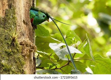 Resplendent Quetzal in the nest, Full resolution foto, Pharomachrus mocinno, Panama, in green forest. Magnificent sacred green and red bird. Birdwatching in jungle.