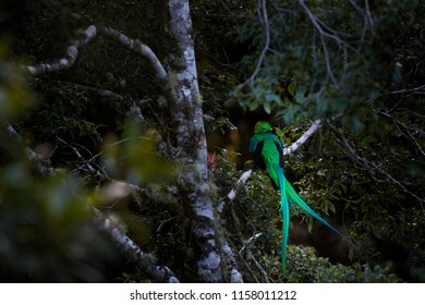 Resplendent Quetzal, Tapantí NP in Costa Rica with green forest in background. Magnificent sacred green and red bird. tropic animal in the habitat. Quetzal with long tail. Travelling in America.