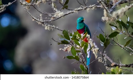 Resplendent quetzal Pharomachrus mocinno, adult male perched on a moss covered wild avocado tree, Costa Rica, February 2019
