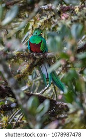 Resplendent Quetzal - Pharomachrus mocinno, beautiful colorful iconic bird from Central America forests, Costa Rica.