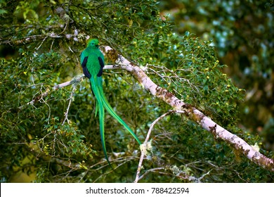 Resplendent Quetzal, Pharomachrus mocinno. Green bird from Costa Rica. Bird with long tail.