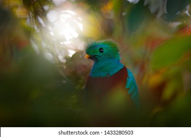 Resplendent Quetzal, Pharomachrus mocinno, from Guatemala with blurred green forest in background. Magnificent sacred green and red bird. Detail portrait of Resplendent Quetzal. Light in the forest.