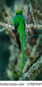 Resplendent Quetzal, Pharomachrus mocinno, magnificent sacred green bird with very long tail from Savegre in Costa Rica.