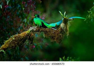 Resplendent Quetzal, Pharomachrus mocinno, magnificent sacred green bird from Savegre in Panama. Rare magic animal in mountain tropical forest. Birdwatching in America. Exotic bird with long tail.
