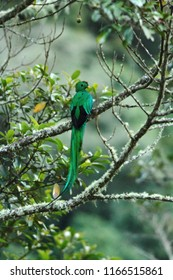 Resplendent Quetzal, Pharomachrus mocinno, Mexico, sitting on branch wwith moss, green forest in background. Magnificent sacred green and red bird. Beautiful and magnificent bird in natural enviroment