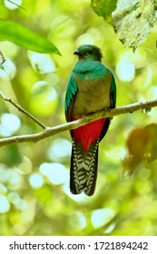 Resplendent Quetzal, Pharomachrus mocinno, Panama, in green forest. Magnificent sacred green and red bird. Birdwatching in jungle.