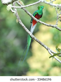 resplendent quetzal or Pharomachrus mocinno san gerardo de dota, savegre mountain, costa rica, central america. rainbow multicolored exotic bird parrot in tropical rainforest tree copyspace