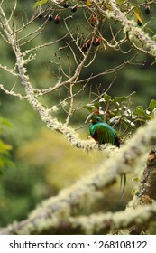 Resplendent Quetzal, Pharomachrus mocinno, Savegre in Costa Rica, with green forest in background. Magnificent sacred green and red bird. Beutiful and magnificent bird