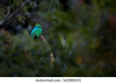 Resplendent Quetzal, Pharomachrus mocinno, from Savegre in Costa Rica with blurred green forest in background. Magnificent sacred green and red bird. Detail forest hidden of Resplendent Quetzal.