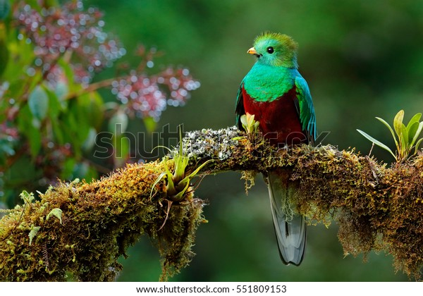 Resplendent Quetzal, Pharomachrus mocinno, Savegre in Costa Rica, with green forest in background. Magnificent sacred green and red bird. Birdwatching in jungle.