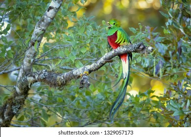 Resplendent quetzal plays an important role in various types of Mesoamerican mythology. It is the national bird of Guatemala, and its image is found on the country's flag and coat of arms.