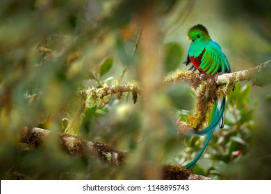 Resplendent Quetzal, Savegre in Costa Rica with green forest in background. Magnificent sacred green and red bird. Detail portrait of beautiful tropic animal. Quetzal with long tail, mountain habitat.