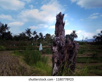 the Rest Of Dry Tree Trunk In The Rice Fields At Ringdikit Village, Buleleng, North Bali, Indonesia