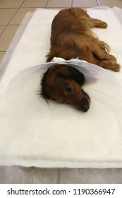 Rest with elizabethan pet collar after neutering (castration) by dachshund dog