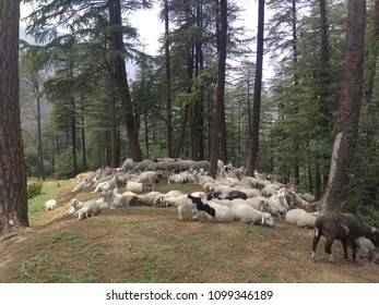 Rest time in sheep in jungel
