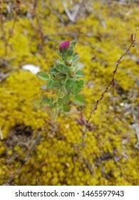 Restharrow plant, Ononis reclinata, growing on coastal dunes in Arousa Island, Galicia, Spain