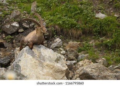 Resting alpine ibex with long horns sitting on the stone