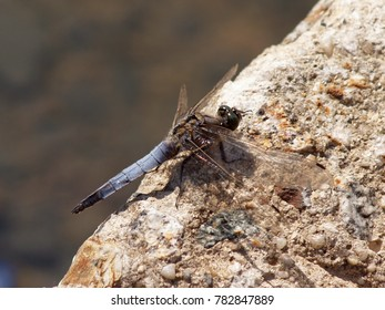 a resting blue big dragonfly at the ground