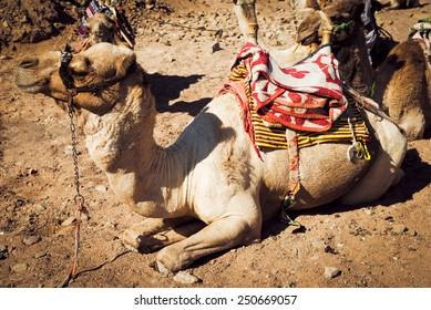 resting camel in the desert. Vintage style.