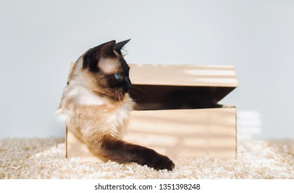 Resting a cat in its carton box. Thoughts and ideas. Siamese cat boss. Sated and sleepy animal. Funny photo. Angry leader. Cat habits.