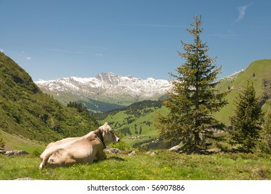 resting cow in the swiss alps