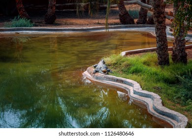 Resting Crocodile. Lake