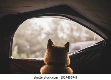 resting dog in campsite forest, close up outline tourist red shiba inu leisure in camp tent,