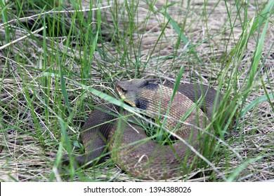 Resting Eastern Hognose Snake in the weeds.