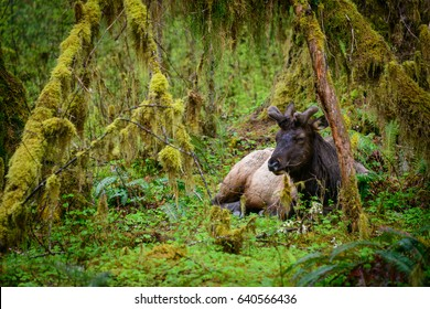 Resting elk at Hoh Rainforest in Olympic National Park