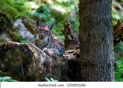 Resting Eurasian lynx (Lynx lynx) in carphatian forrest, SLovakia