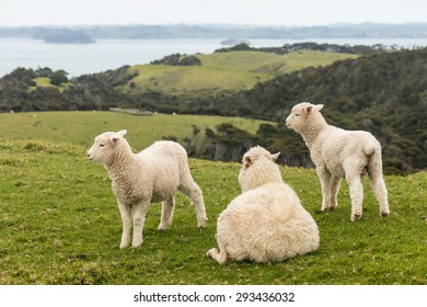 resting ewe with two jumpy lambs