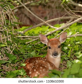 Resting Fawn in Ivy