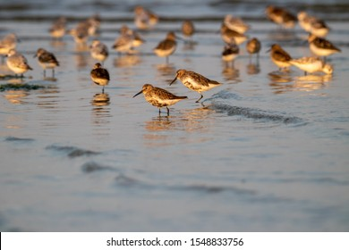 Resting flock of shorebirds (mostly sanderlings and red knots) on the island Griend in the Wadden Sea.