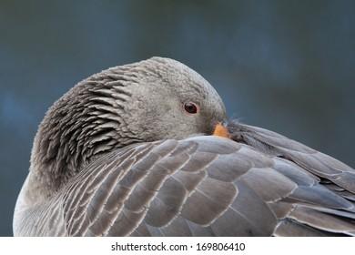A resting Greylag goose