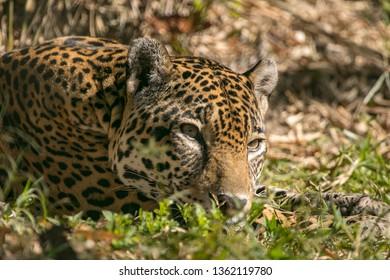 Resting Jaguar in the grass