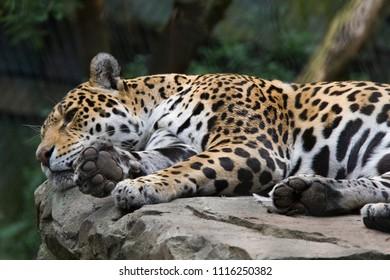 resting jaguar lies quietly on a rock