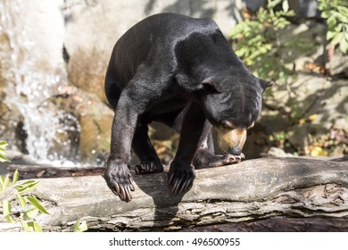 Resting, with large claws, Malayan sun bear, Helarctos malayanus