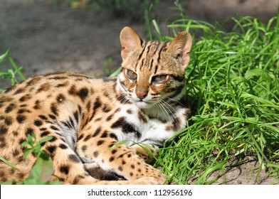 Resting Leopard cat (Prionailurus bengalensis)