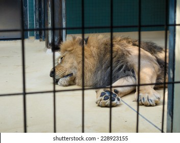 resting lion behind bars in the Berlin zoo