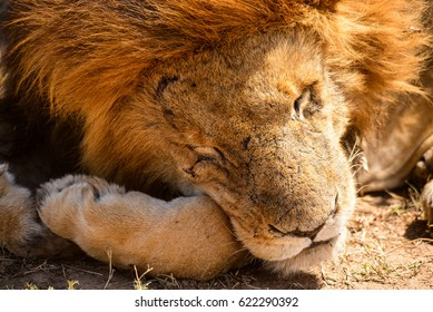 Resting lion in Masai Mara