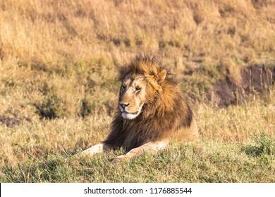 A resting lion. Masai Mara, Kenya