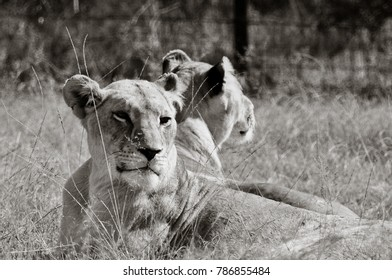 black and white lion images stock photos vectors shutterstock