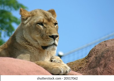 Resting Lioness in Toronto Zoo
