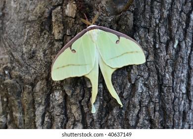 Resting Luna Moth on Oak Tree