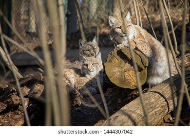 Resting lynx mother with cubs. Lynx Lynx.
