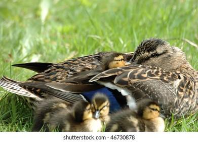 Resting Mallard Duck Family